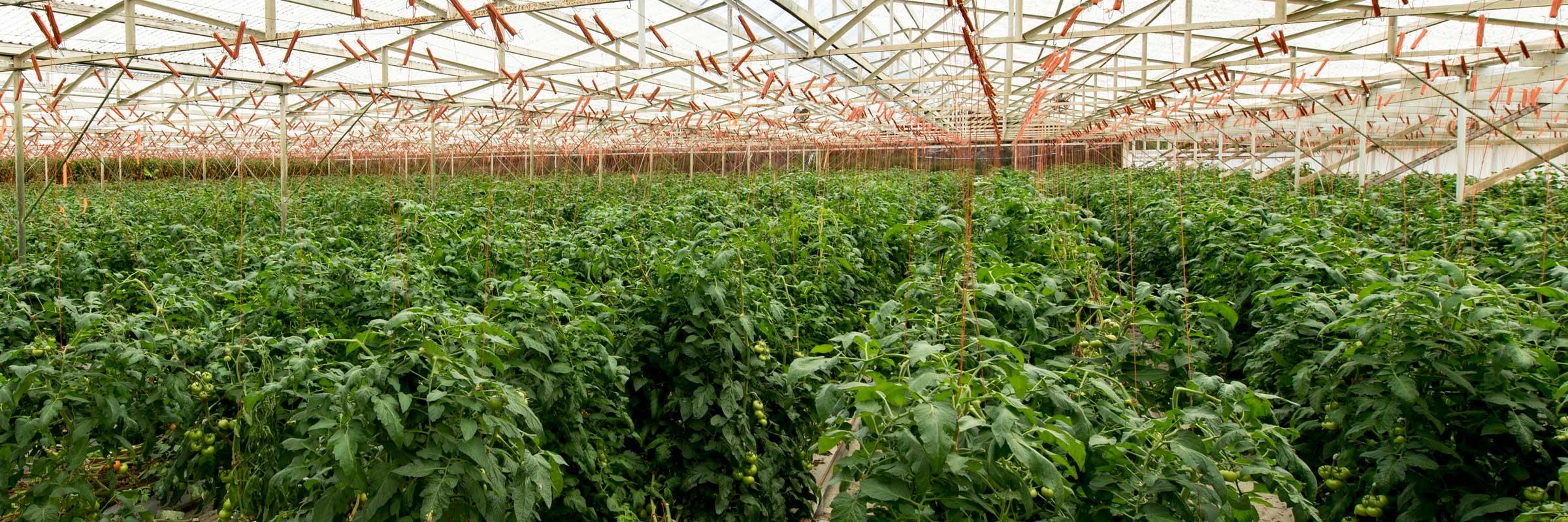 Kawamata Hydroponic Tomato plants