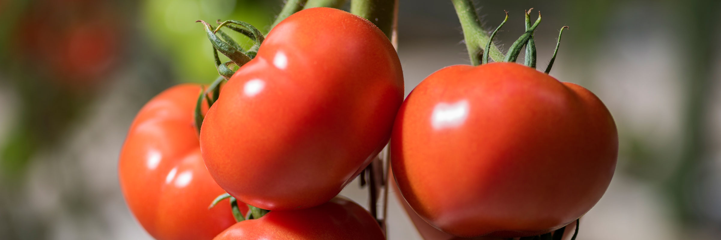 Kamuela's Finest Hydroponically grown tomatoes