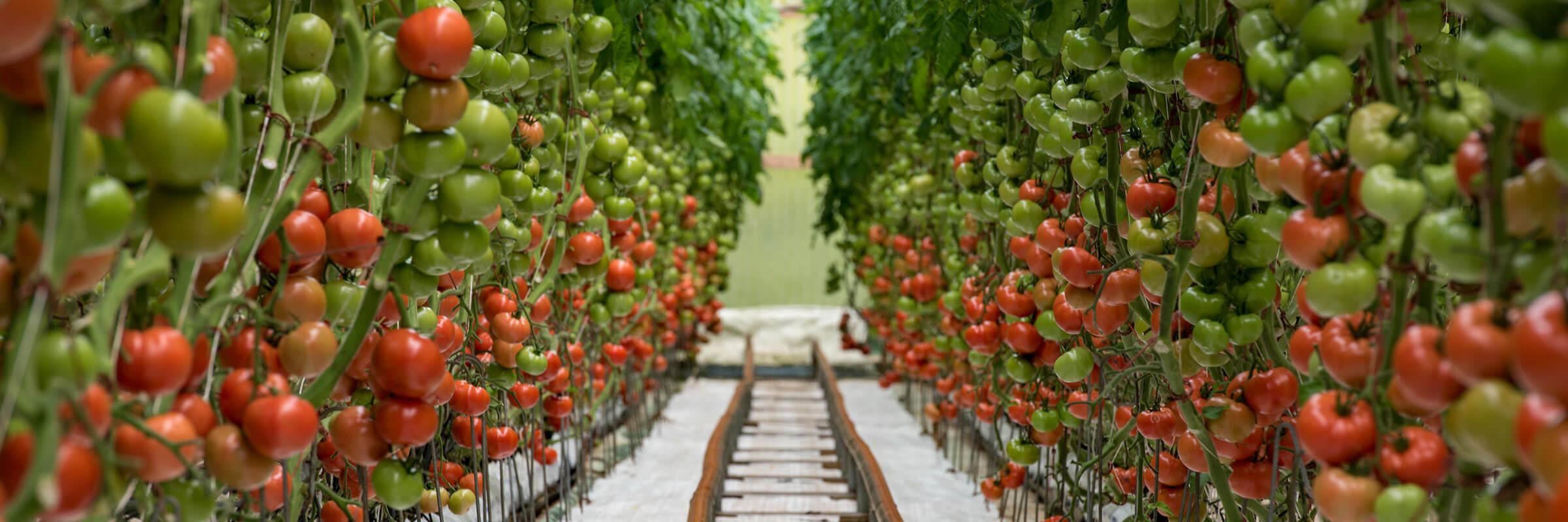 Kawamata tomatoes